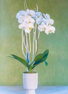 Orchid - Monaco